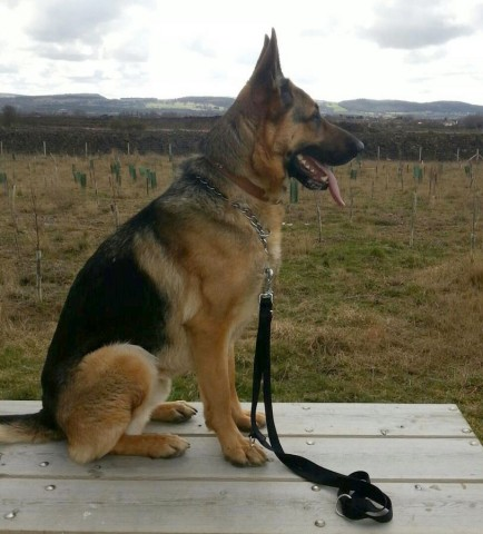 Image Result For German Shepherd News Articles