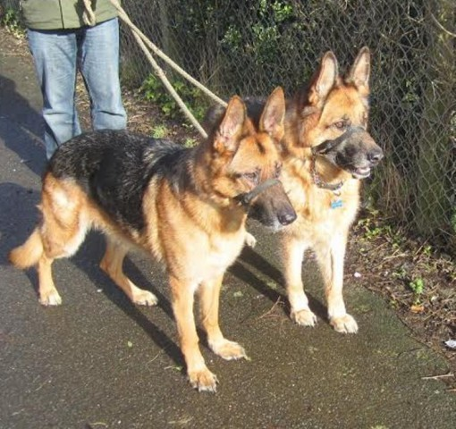 Zippy - East Sussex : Rescue German Shepherd Dogs and Puppies for ...