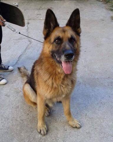 URGENT! German Shepherd Dog Lord in Kennels ROMANIA @ GSDR
