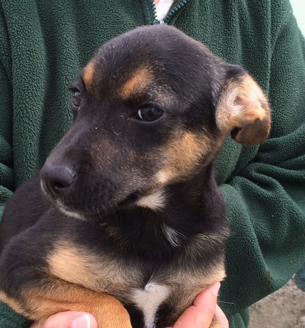 Alvin gsd puppy needs a new mummy and daddy