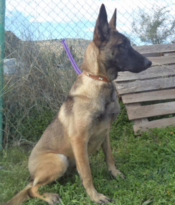 Amber is a stunning young Malinois