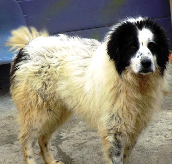 Bucovina Shepherd Dog Uk