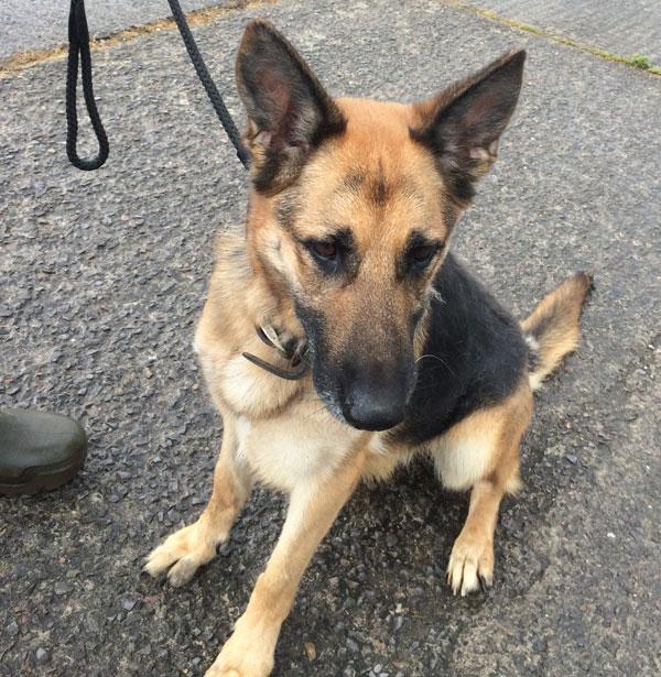 puppies austin german shepherd dog rescue dog breeds picture