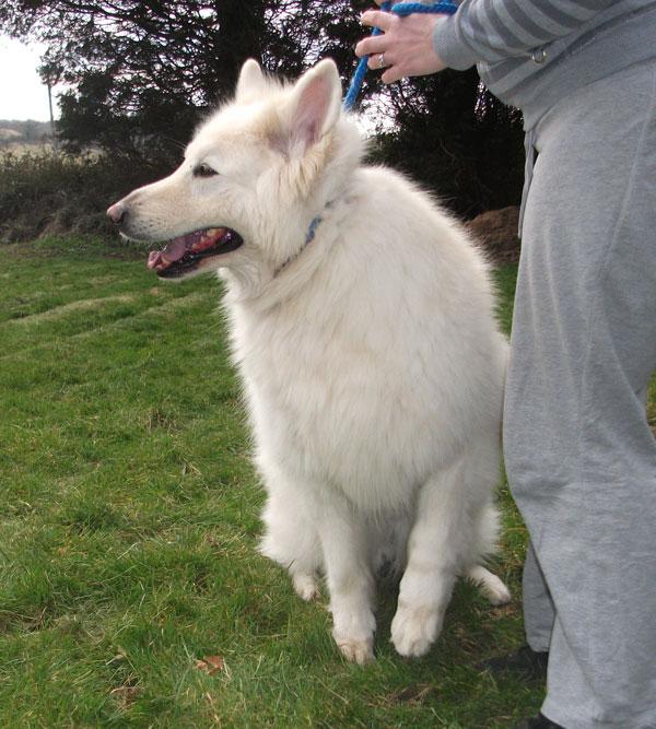 Big Fluffy Dog Breeds White | Dog Breeds Picture