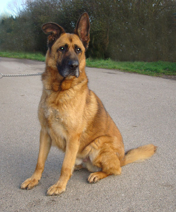 Big boy Scooby, stunning handsome dog in kennels half his life