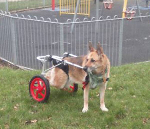 Sadie the GSD loves her wheels