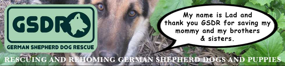 URGENT! German Shepherd Dogs Wales @ GERMAN SHEPHERD DOG RESCUE (GSDR) -