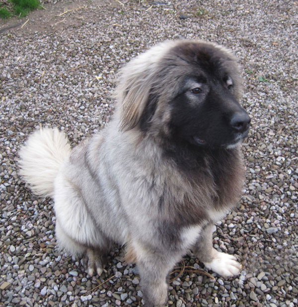 Russian mountain dog puppy