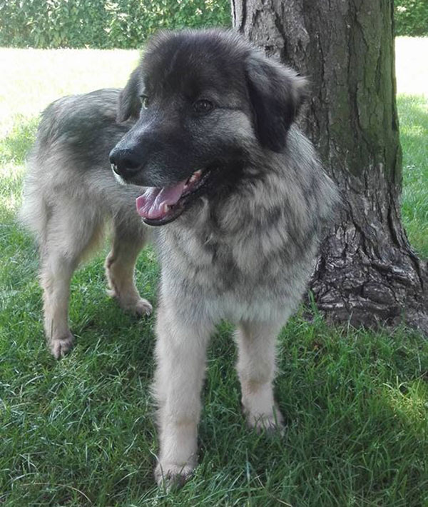 Carpathian Shepherd Dog Rescue Uk