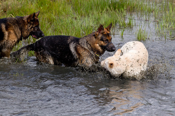 german shepherds playing in water