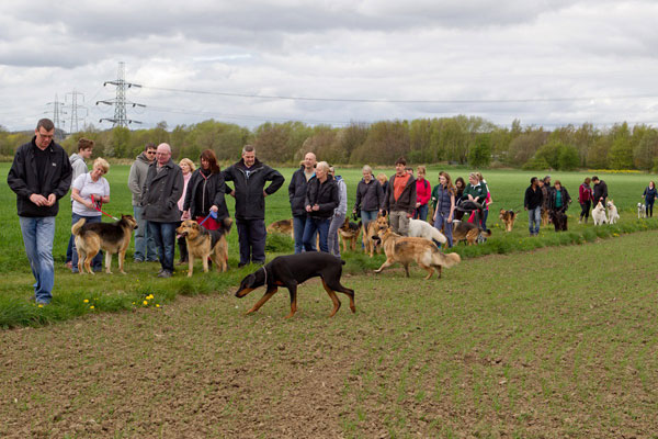 lots of german sheopherds and their owners on a walk