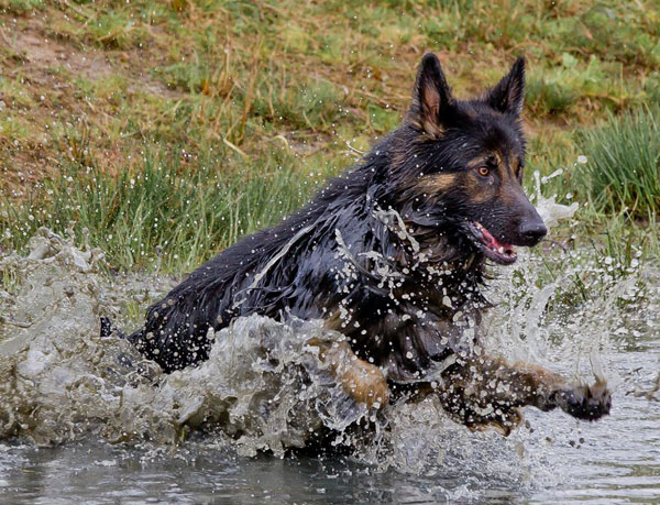 german shepherd jumping in the water