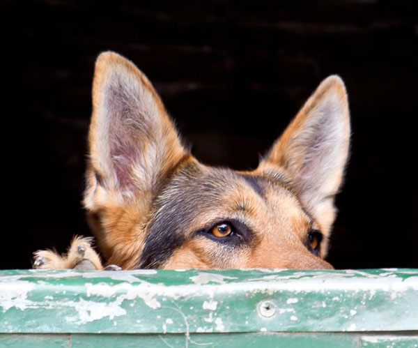 german shepherd looking over a stable door