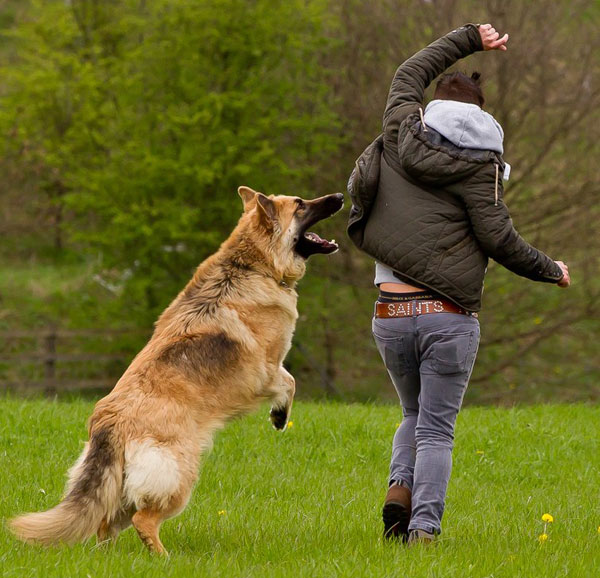 gsd jumping up at his owner
