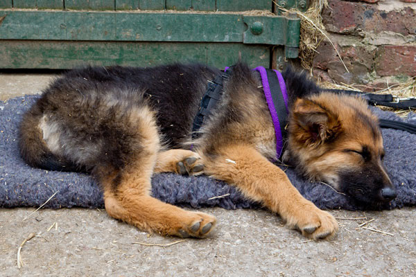 fern german shepherd puppy tired after a long walk