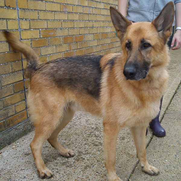 bailey gsd looking for his forever home