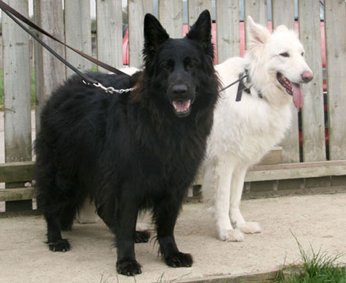 black and white german shepherds