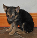 GSD puppies