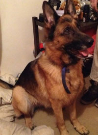 autumn the german shepherd in kennels many months
