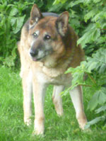 Ben older GSD dumped in the pound