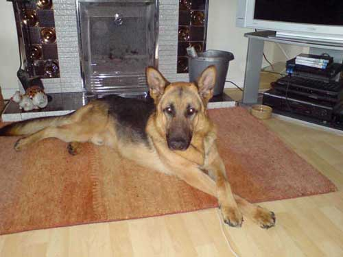 benji the german shepherd dog