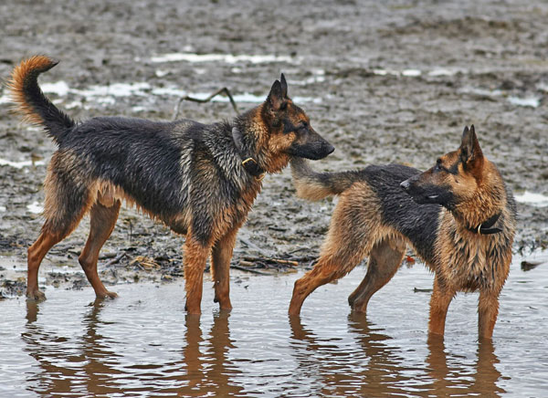 german shepherds playing in mud and water