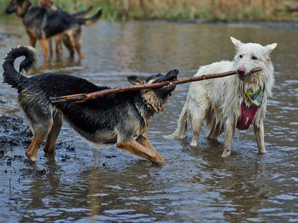 two german shepherds playing with a stick in muddy water