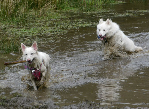 two wet and muddy white german shepherds