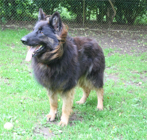 bhindi gsd lokking for new home