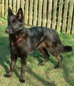 sasha the black GSD