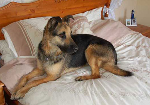 bruno the gsd on the bed