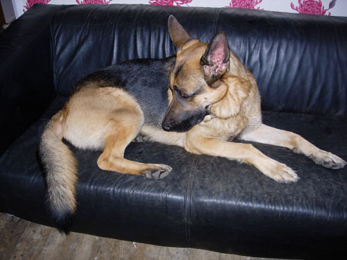 buster gsd lying on the sofa