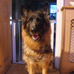 Cassie the GSD who needed ear canal ablation