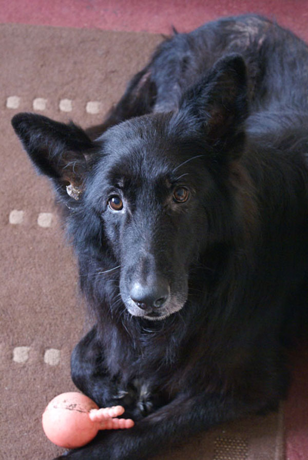 charlie black german shepherd