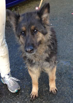 CJ, Now Called Nanna - Older GSD Badly Neglected