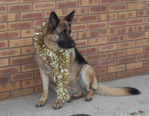 Rescue German Shepherd Dog Christmas Pictures
