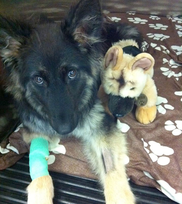 young german shepherd in intensive care following thoracic surgery at Chestergates referral centre