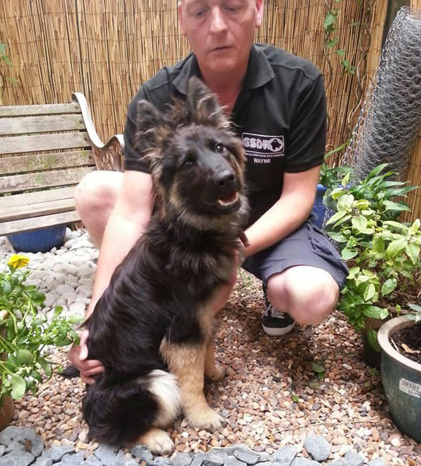 gsd puppy coco with gsdr volunteer