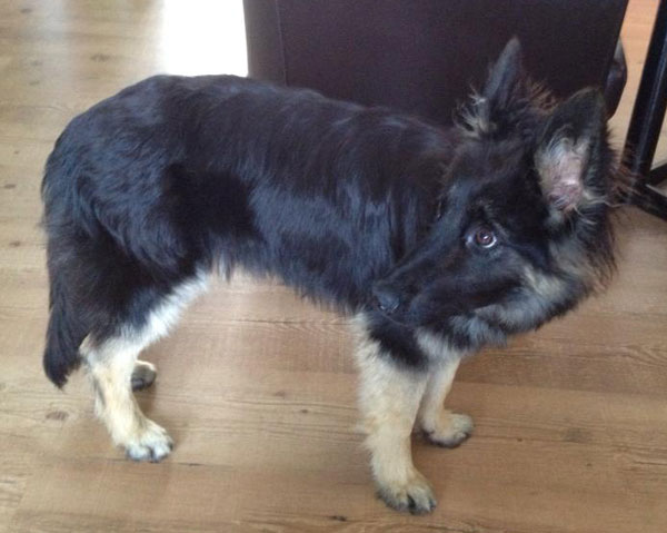 coco gsd puppy who is very small and underweight