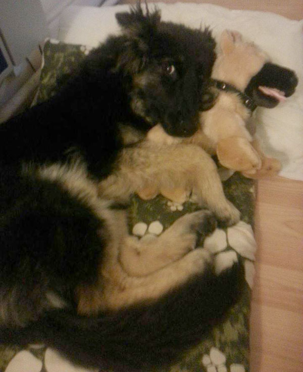 coco snuggling up with her gsdr puppy