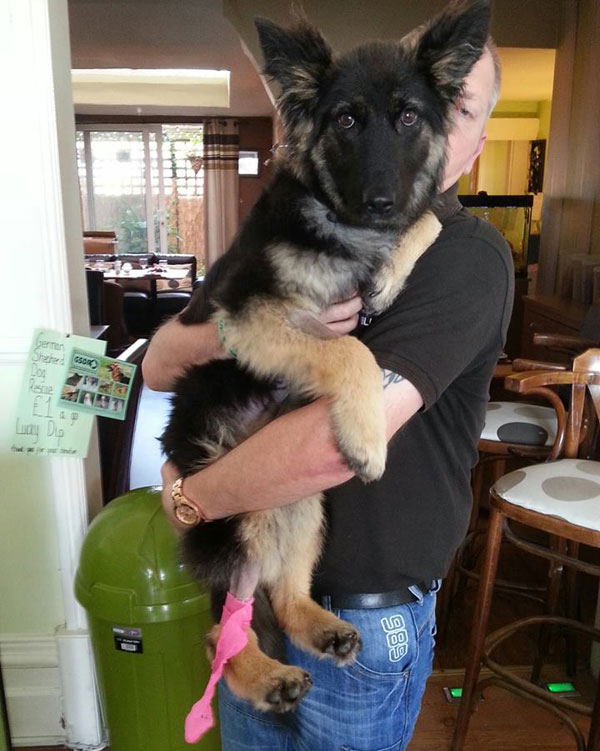 coco gsd wearing her pink bandage