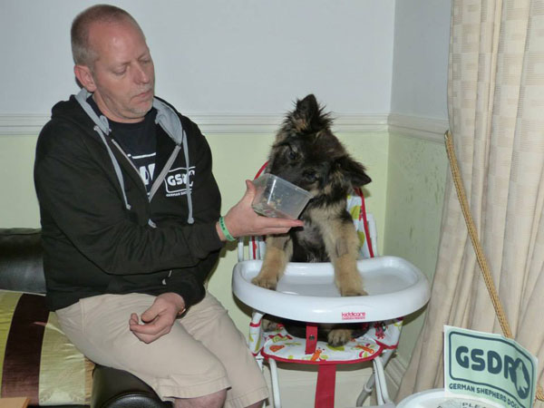 german sheopherd sitting in her high chair being fed