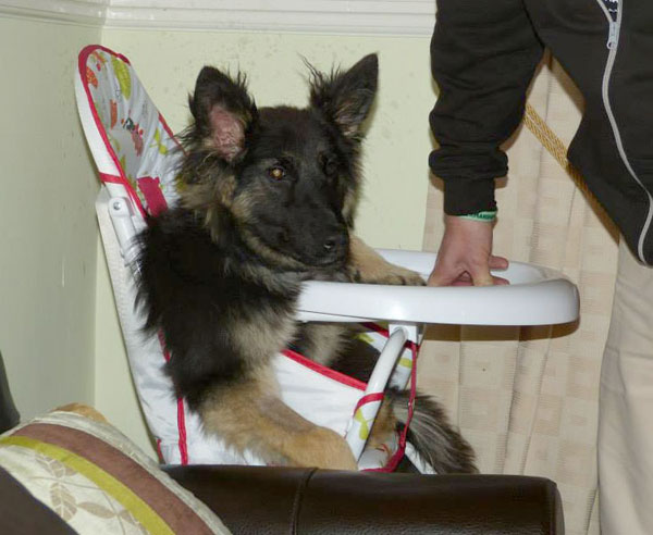 gsd with persistent right aortic arch sitting in her high chair