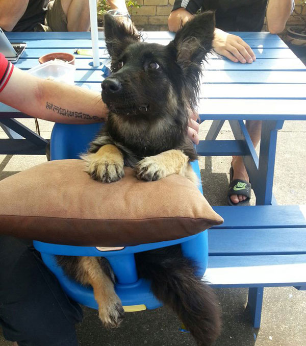 coco young gsd with praa sitting in a high chair being fed balls of meat