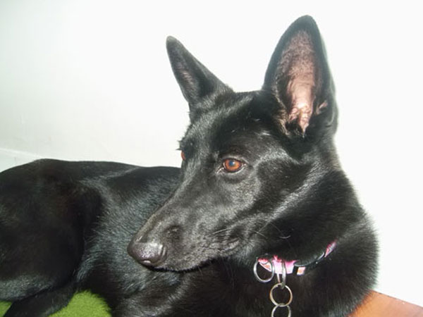 daisy the black german shepherd day dreaming