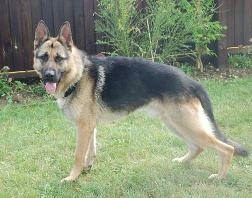 eiger beautiful young gsd