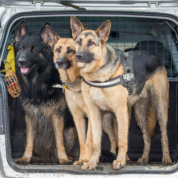 three german shepherds in a car