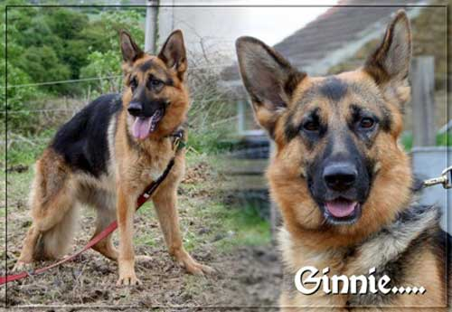 ginnie the young gsd