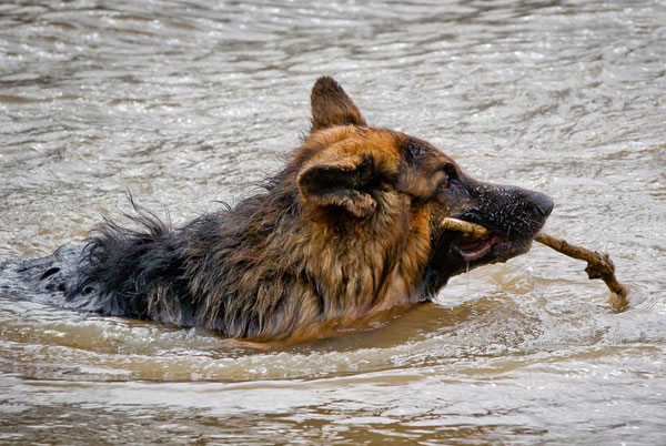 gsd swimming with a stick in his mouth