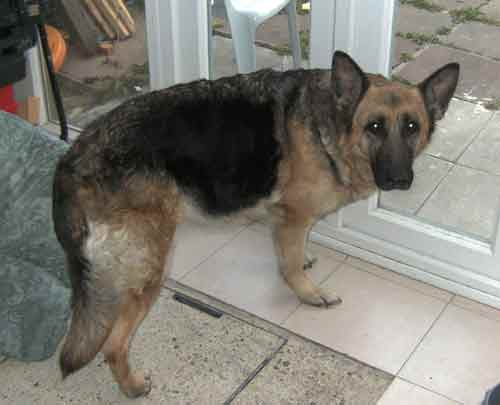 gypsey the older gsd